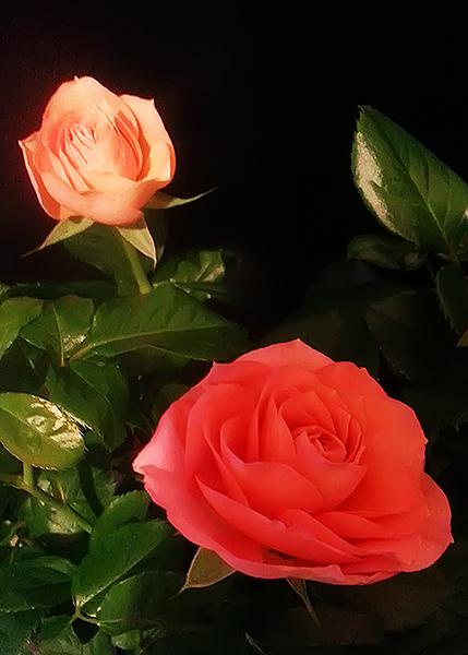 trandafirasi-saptamana2